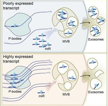 Cell Reports:外泌体miRNA如何影响细胞通讯?