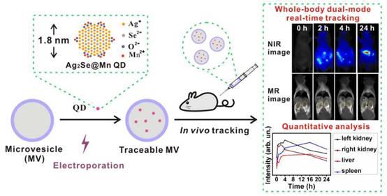 外泌体碰上量子物理---荧光量子点标记外泌体体内实时成像技术