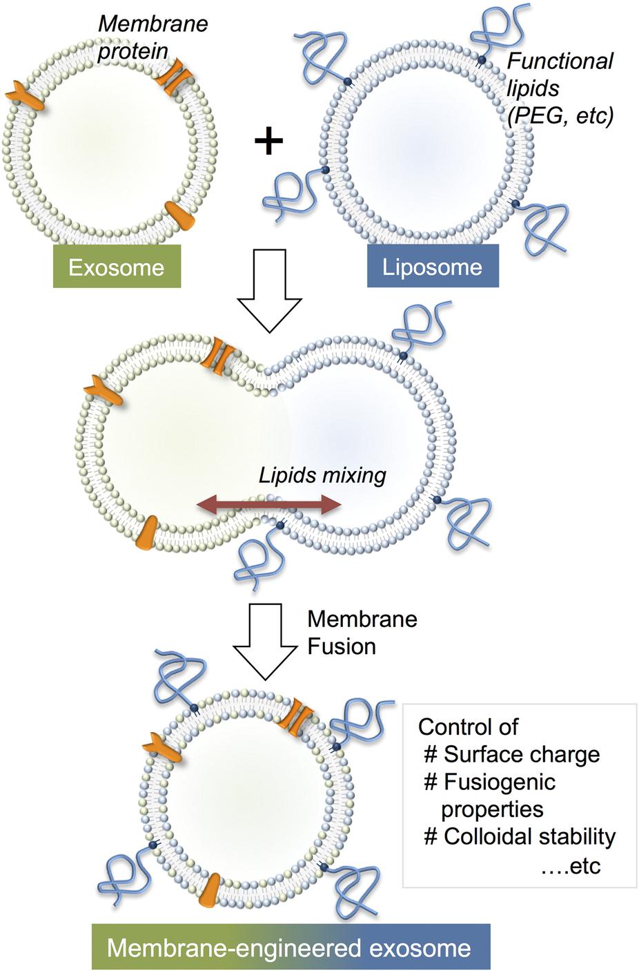 生物膜新技术——脂质体融合外泌体
