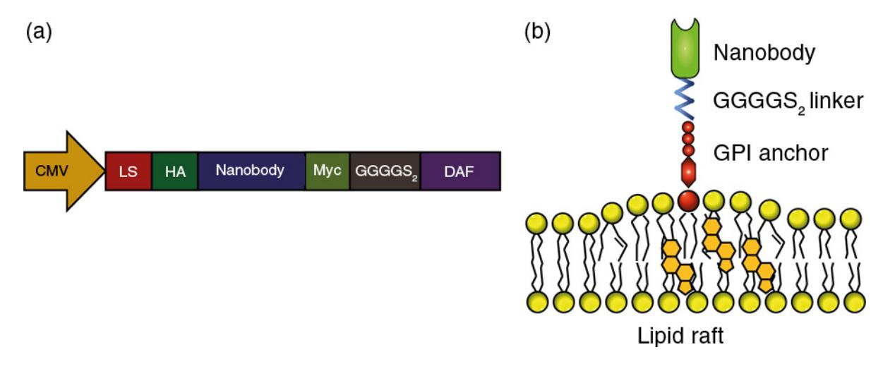 GPI锚定的抗EGFR纳米抗体可促进胞外囊泡的肿瘤靶向性