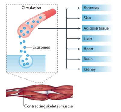 NATURE REVIEWS:耐力运动产生的外泌体缓解代谢相关疾病