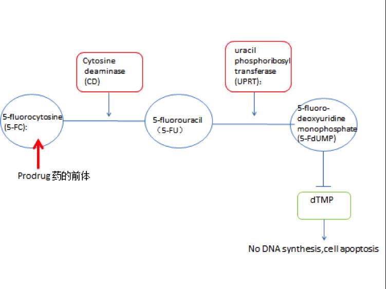 外泌体特异性包裹蛋白CD-UPRT结合5-氟胞嘧啶靶向治疗癌症