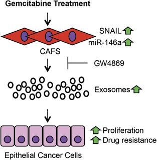 Oncogene:CAF外泌体调节胰腺癌细胞增殖