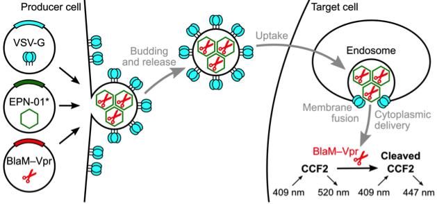 Nature:一种独特的蛋白设计可诱导包含蛋白纳米笼(nanocages)的细胞外膜泡的形成