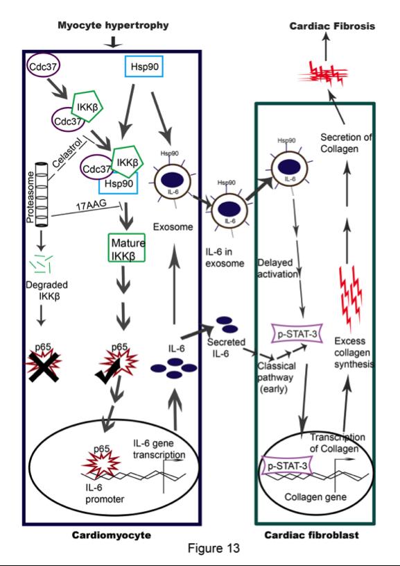 心肌细胞来源的HSP90通过外泌体和非外泌体两种途径激活成纤维细胞STAT-3促进胶原合成最终导致心脏肥大