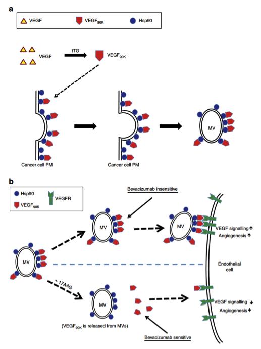 康奈尔大学:乳腺癌细胞分泌的微泡激活靶细胞的VEGF受体并促进肿瘤的血管新生