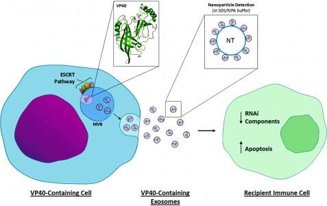 【综述】通过外泌体释放的埃博拉病毒蛋白如何影响免疫系统?