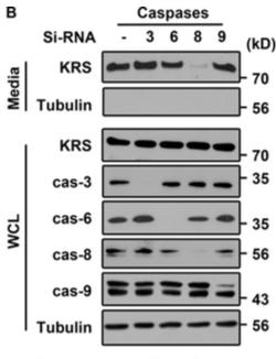 JCB:Caspase-8调控癌细胞外泌体中赖氨酰-tRNA合成酶的分泌