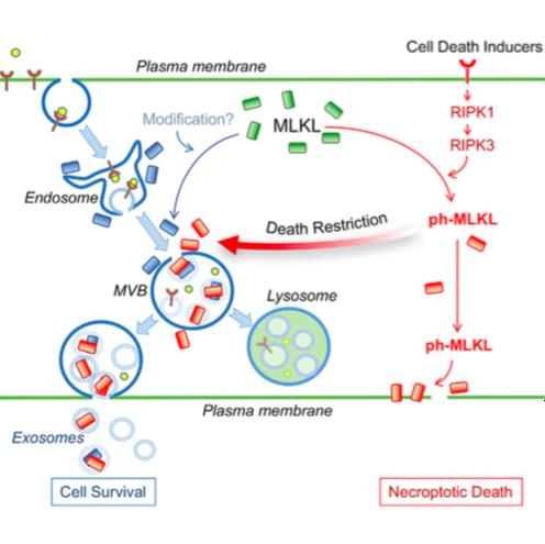 Immunity:细胞的生死决定?调控细胞坏死的MLKL基因的两面性
