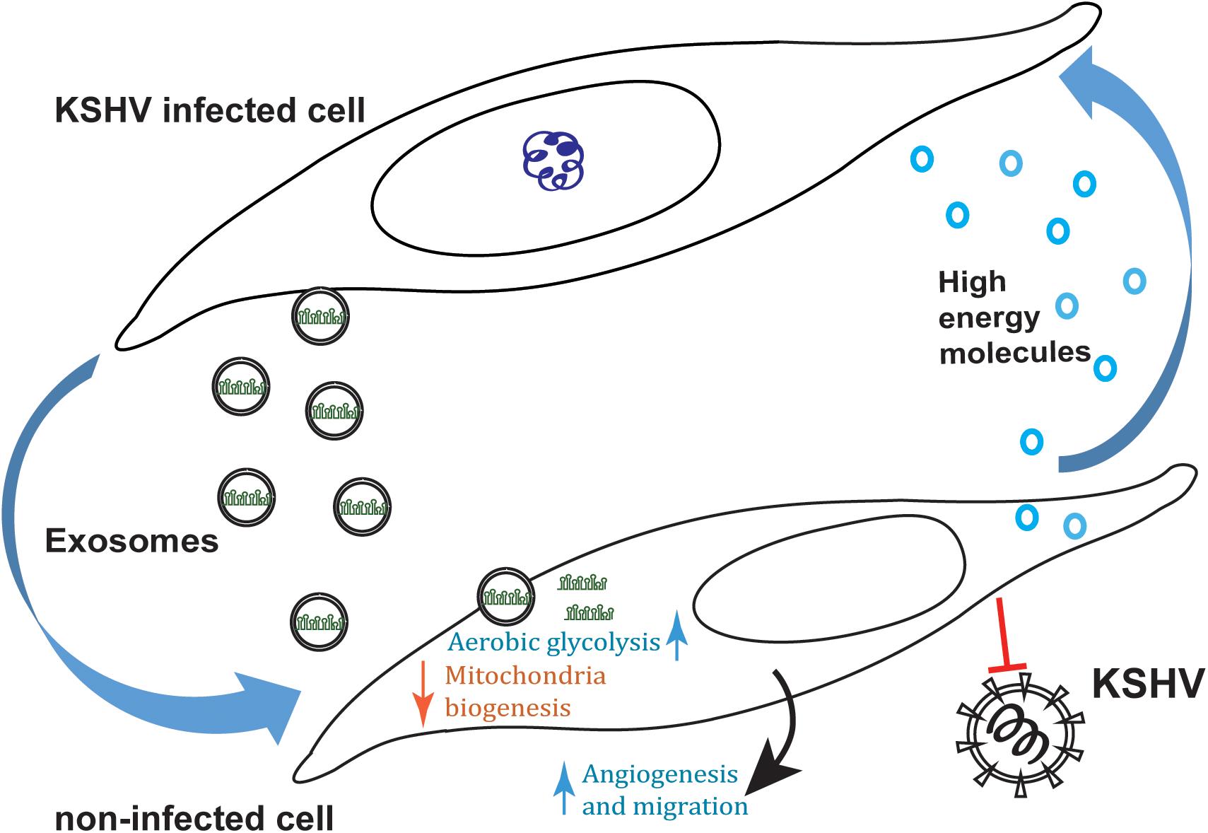 PLoS Pathog:外泌体传递病毒miRNA改变肿瘤代谢微环境