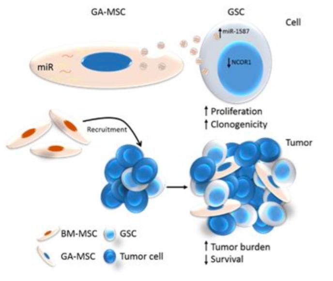 MD安德森癌症中心发文:胶质瘤相关MSC分泌的外泌体增强胶质瘤干细胞的致癌性