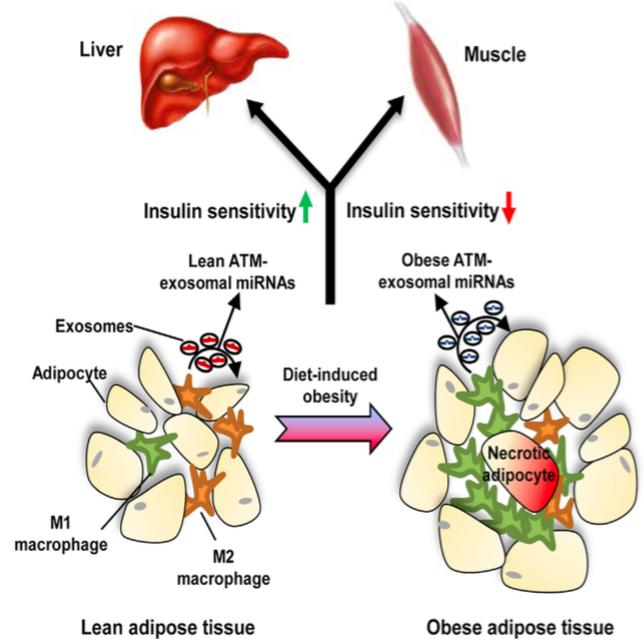 Cell:为什么肥胖会导致胰岛素抵抗?原因在于外泌体!