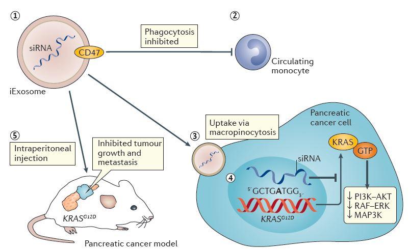【Nature新闻综述推荐】利用外泌体靶向KRAS治疗胰腺癌