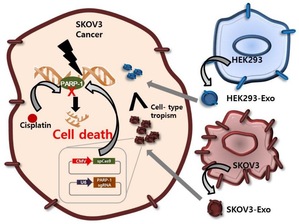 J Control Release:肿瘤外泌体可靶向递送CRISPR/Cas9促进肿瘤细胞凋亡