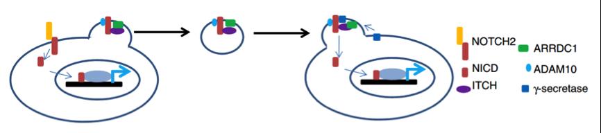 【Nature子刊】哈佛大学:细胞外膜泡介导非典型细胞间NOTCH信号传递