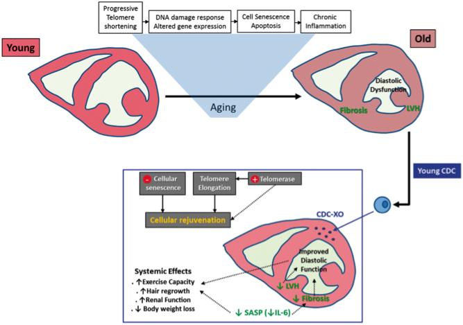 外泌体如何使年老大鼠恢复青春?来看心血管领域大牛Eduardo Marban最新研究报道