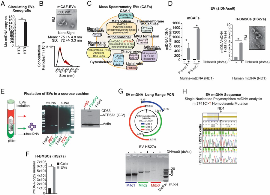 PNAS:外泌体包裹线粒体DNA,调控激素耐药乳腺癌细胞逃脱休眠