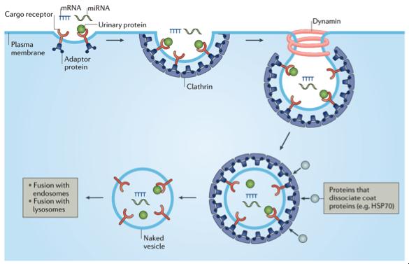 【综述】Nature子刊:尿液细胞外囊泡的诊断应用
