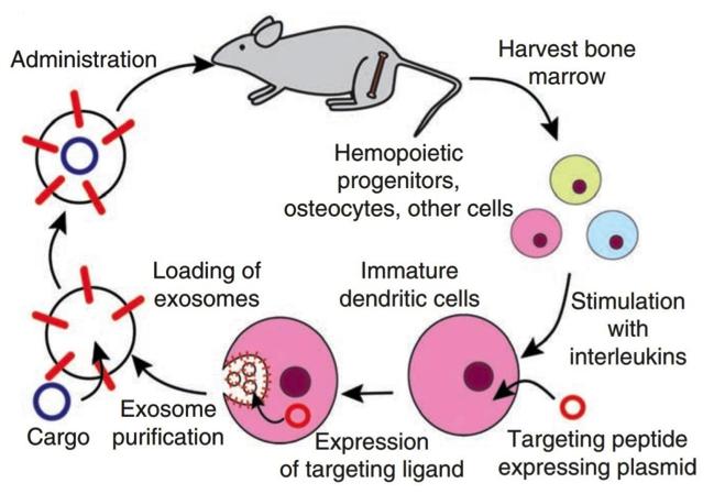 一种利用外泌体递送siRNA至小鼠大脑的方法