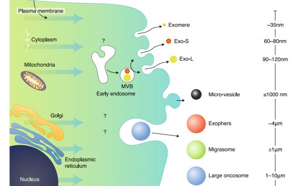 Nat Cell Biol | 康奈尔大学科学家David Lyden揭示外泌体的不同亚群并发现一种新的更小的外泌颗粒