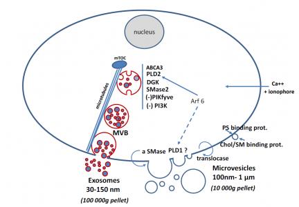 J Lipid Res近日连发两篇综述阐述外泌体脂质相关作用