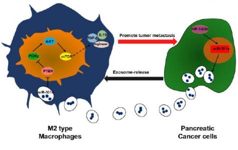 缺氧诱导的外泌体miRNA通过PTEN /PI3Kγ介导M2巨噬细胞极化以促进胰腺癌转移