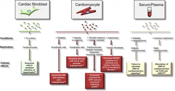 外泌体在心血管疾病和修复中的旁分泌效应