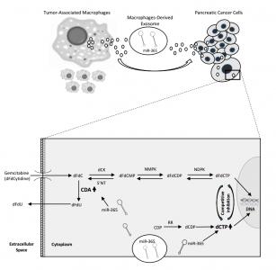 Cancer Res:巨噬细胞外泌体转移miRNAs诱导胰腺癌的耐药性