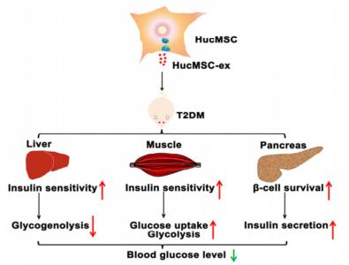 人间充质干细胞来源的外泌体通过逆转胰岛素抵抗和缓解β细胞损伤从而减轻II型糖尿病