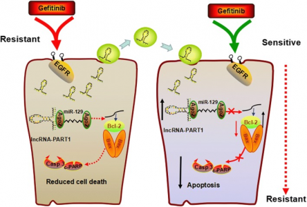 西南医科大学:外泌体lncRNA PART1在食管鳞状细胞癌中诱导吉非替尼耐药