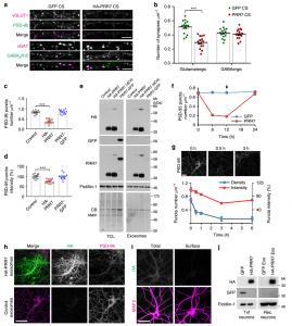 Nature子刊:外泌体上Wnt和Wnt抑制剂PRR7对兴奋性突触数量的相互控制