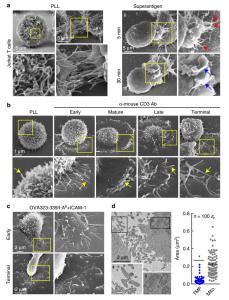 Nature子刊:T细胞微绒毛形成的膜泡向抗原呈递细胞传递信息