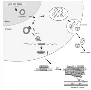 中山大学肿瘤防治中心:外泌体中的circRNA-PRMT5通过miR-30c海绵促进膀胱尿路上皮癌的转移并诱导EMT