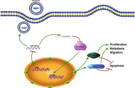 南京医科大学:DNA甲基化介导的miR-486-5p沉默通过激活PLAGL2信号通路促进结直肠癌增殖和转移