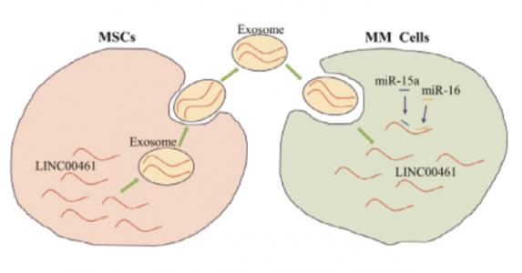 中南大学:外泌体携带LnRNA通过调节miRNA/BCL-2表达促进多发性骨髓瘤细胞增殖并抑制细胞凋亡