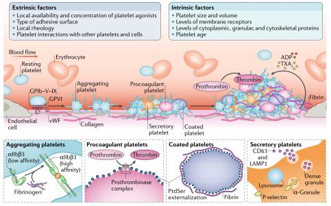 血小板生物学与功能,及其细胞外囊泡 | Nature Reviews