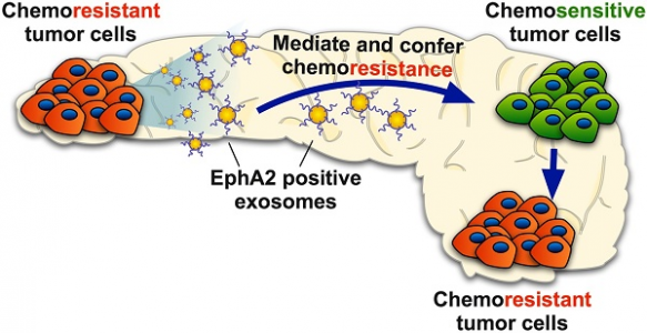外泌体介导EphA2转移在胰腺癌中传递化学抗性 | Theranostics