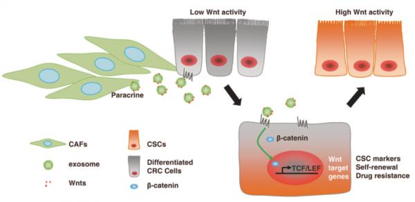华中科技大学同济医学院:外泌体Wnt诱导的结直肠癌细胞去分化促进化疗耐药