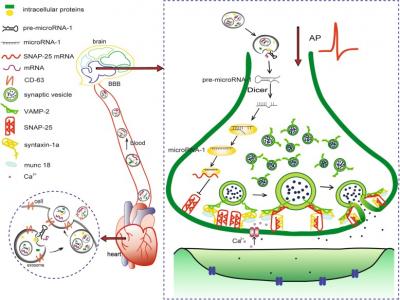 哈尔滨医科大学艾静、班涛课题组:心脏外泌体转运miR-1,调节SNAP-25减弱海马突触小泡的胞吐作用