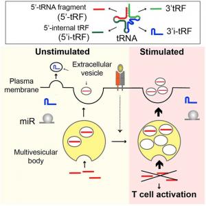 T细胞活化过程中通过细胞外囊泡选择性释放抑制活化的tRNA片段 | Cell Reports