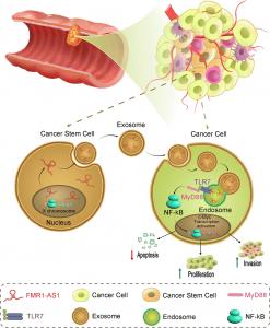 苏州大学医学部周翊峰课题组:外泌体lncRNA调控女性食管癌中肿瘤干细胞的动态平衡