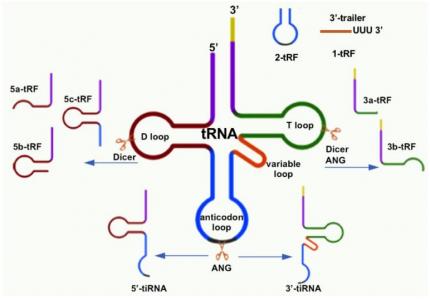 四川大学华西医院:外泌体tRNA衍生的tsRNA可作为肿瘤诊断生物标志物