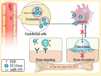 海军军医大学:内皮细胞分泌具有骨靶向作用的生物相容性外泌体能够改善骨质疏松