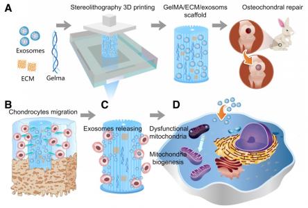 """浙江大学:间充质干细胞外泌体掺入3D打印的""""生物墨水""""中用于软骨缺损再生"""