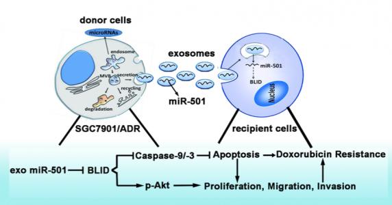 大连医科大学:外泌体miRNA-501通过靶向BLID导致胃癌发展以及对阿霉素的耐药性