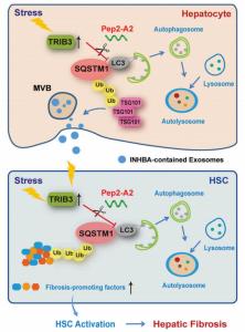 Autophagy:阻断TRIB3-SQSTM1相互作用可恢复自噬并抑制外泌体介导的HSC活化,实现肝纤维化的治疗