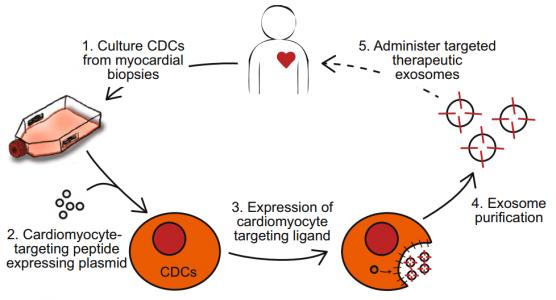 携带心肌细胞结合肽的外泌体显示出更好的心脏驻留