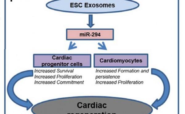 Circ Res:胚胎干细胞来源的exo可以促进心梗后修复