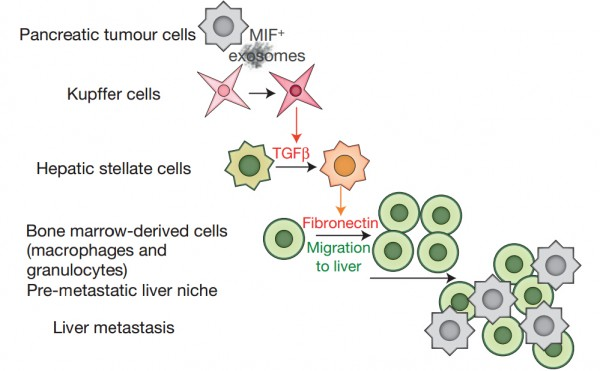 Nature cell biology:胰腺癌外泌体起始肝脏中转移前微环境的形成