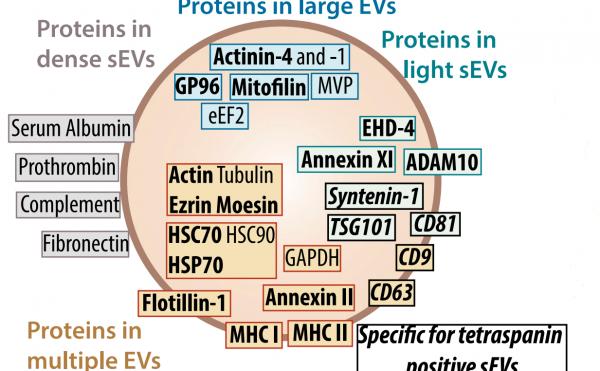 Théry通过比较不同细胞外膜泡亚群蛋白质组学确定不同细胞外膜泡的新型标志物